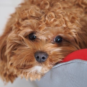 Pet Of The Week: The Cavoodle
